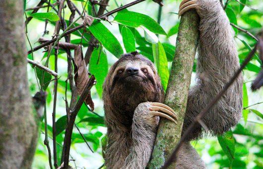 sloth-don-pepe-530x340
